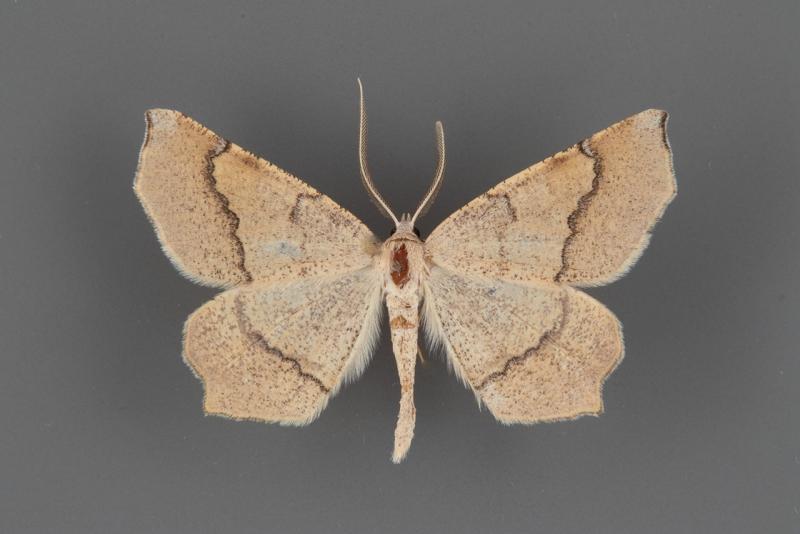 6854 Eriplatymetra grotearia male
