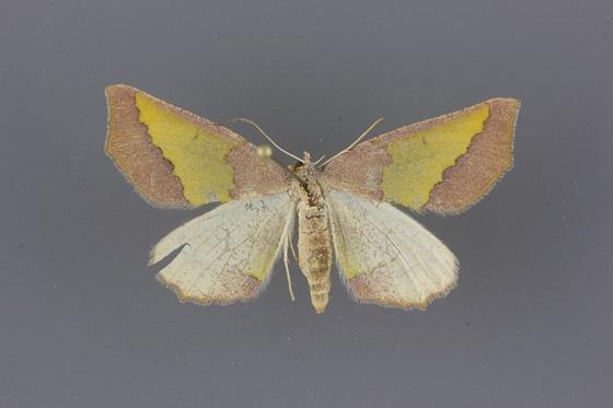 6857 Lychnosea helveolaria female