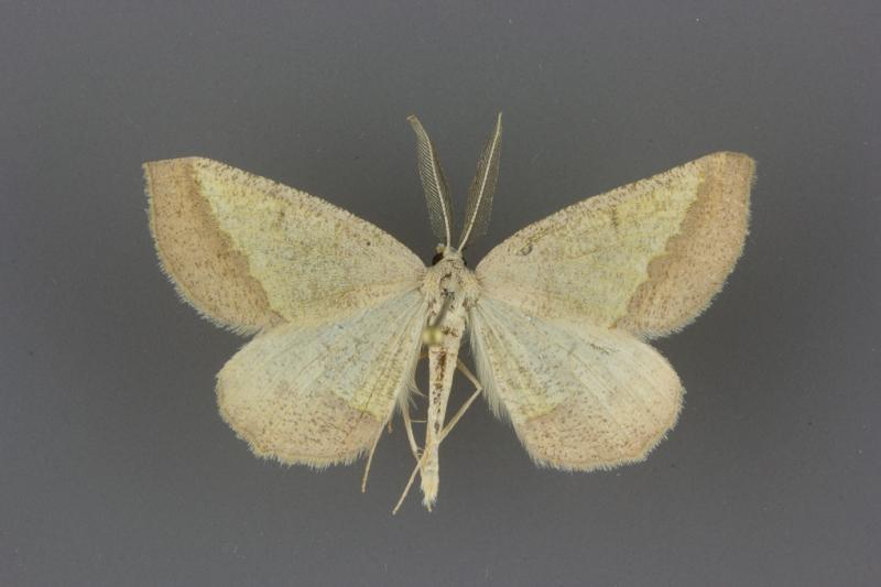 6857 Lychnosea helveolaria male