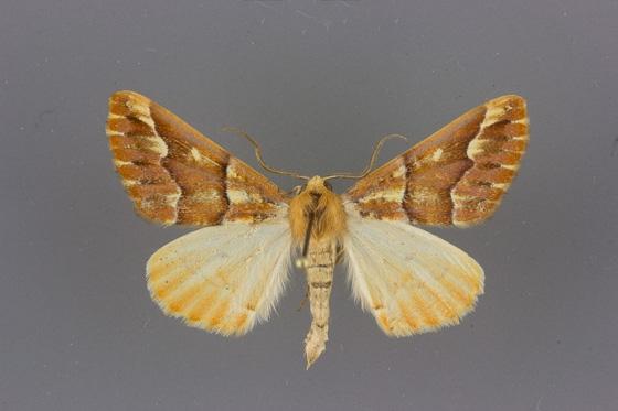 6865 Caripeta aequaliaria male