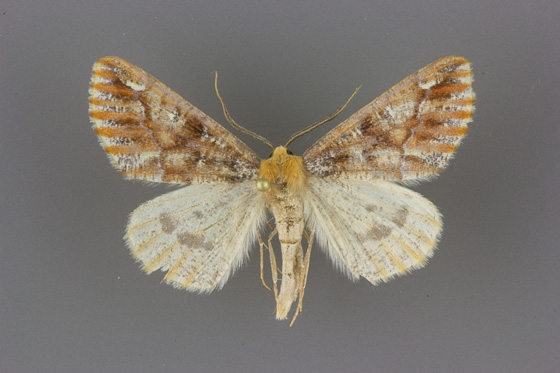 6865.1 Caripeta suffusata male