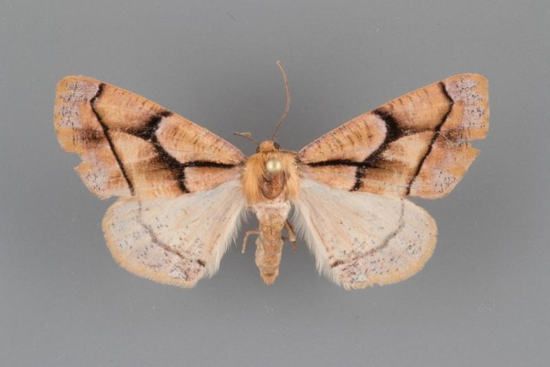 6875 Snowia montanaria