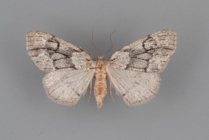 6905 Nepytia swettii female