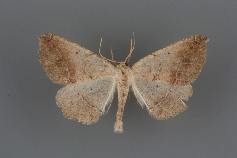 6981 Prochoerodes forficaria male