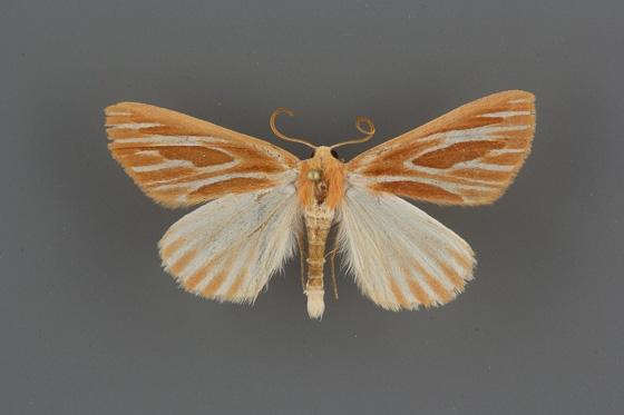 7000 Sabulodes niveostriata male