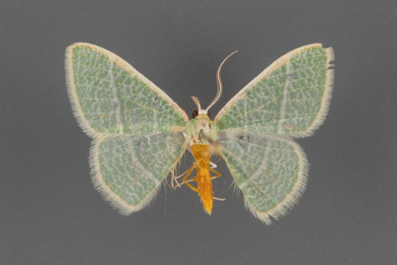 7021-Nemoria-arizonaria-male