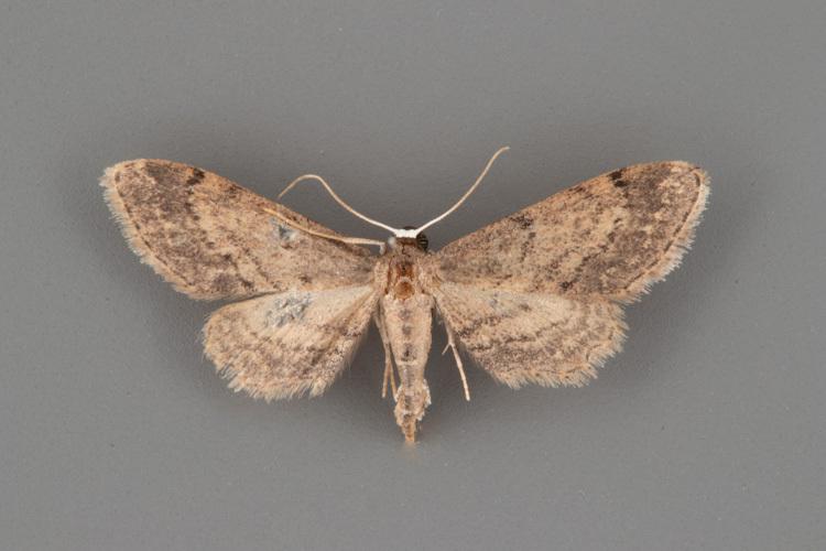 7092-Protoproutia-rusticaria-female