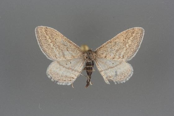 7097 Lobocleta plemyraria male