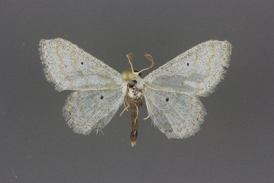 7100 Lobocleta peralbata male