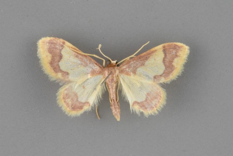 7110 Idaea basinta male copy