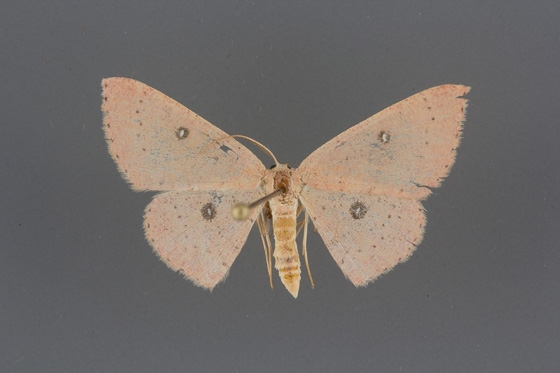 7136 Cyclophora packardi male