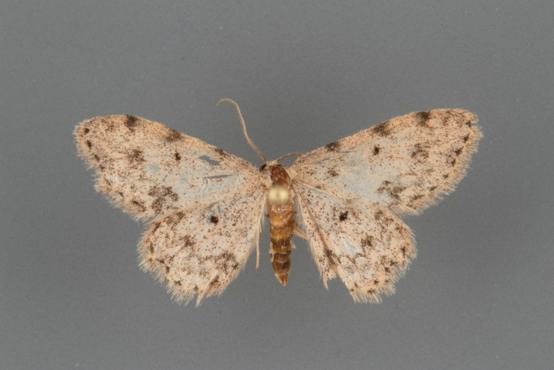 7154 Scopula plantagenaria male