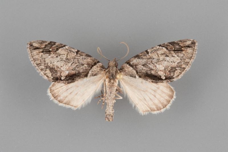 7250 Hydriomena chiricahuata male