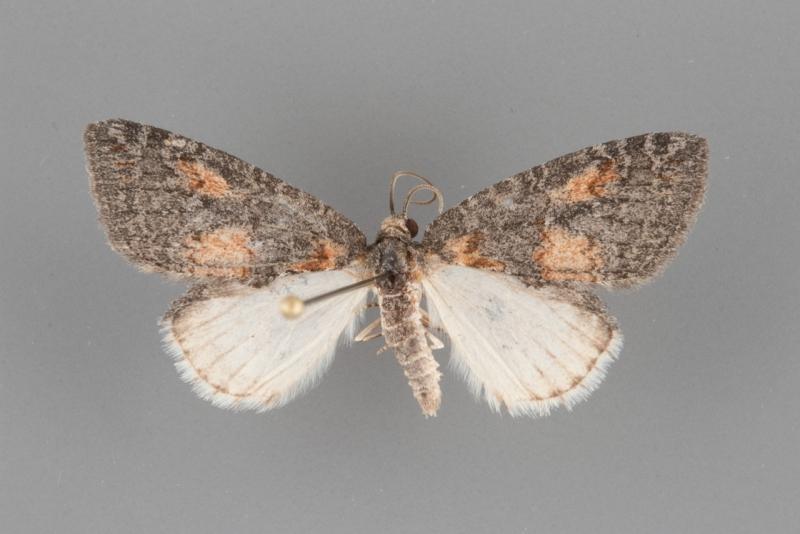 7278 Hymenodria mediodentata male