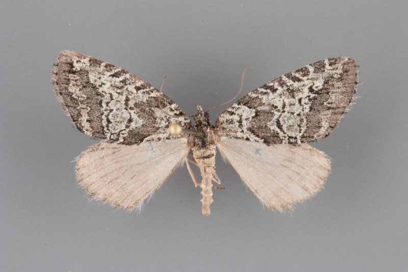 7279 Ersephila indistincta 1