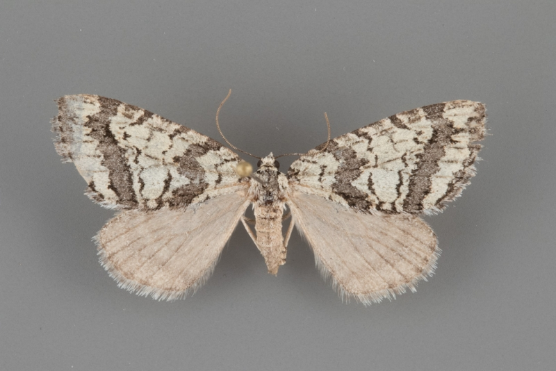 7279 Ersephila indistincta 2