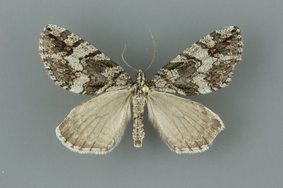 7280 Ersephila grandipennis male