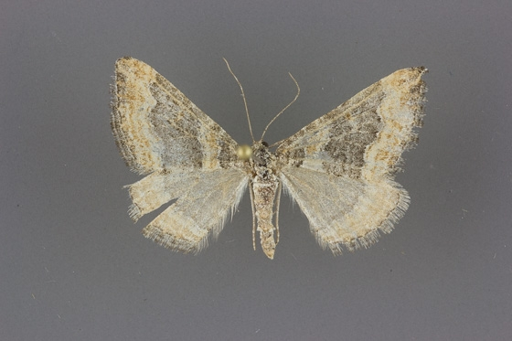 7328 Perizoma custodiata
