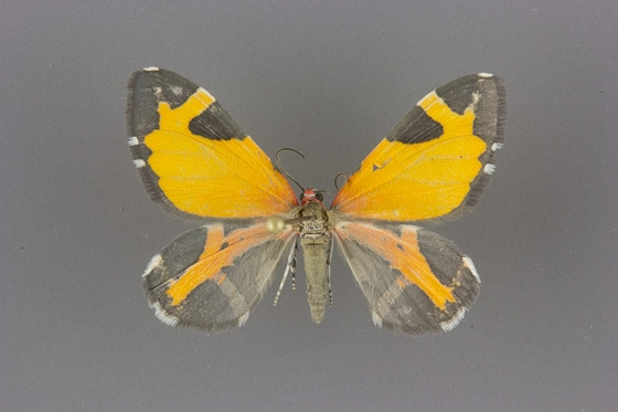 7354 Stamnodes fervefactaria male dorsal