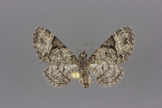7466 Eupithecia edna female
