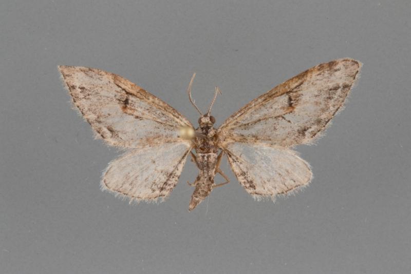 7500 Eupithecia bolterii male