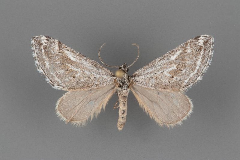 7634-Scelidacantha triseriata male