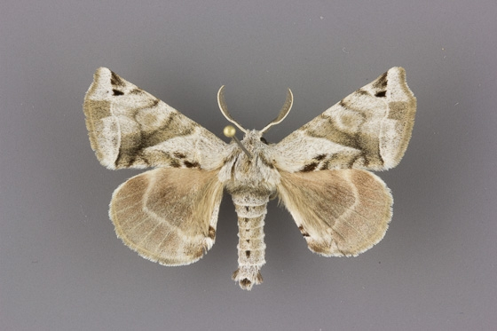 7664 Apatelodes pudefacta male