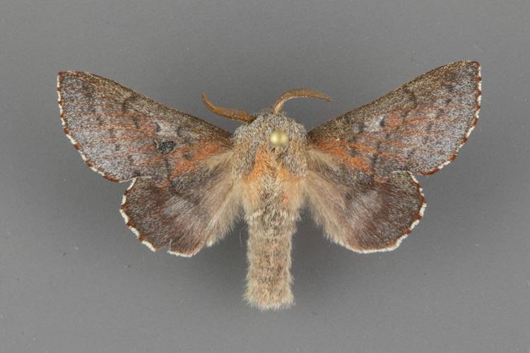 7687-Phyllodesma-americana-male dorsal