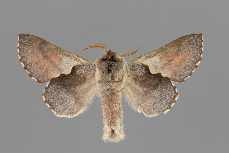 7687-Phyllodesma americana male vental