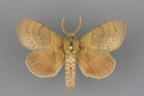 7691 Quadrina diazoma male