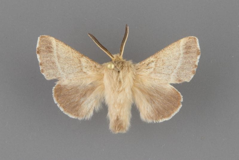 7703 Melacosoma incurva male