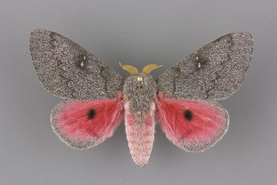 7711 Sphingicampa hubbardi male