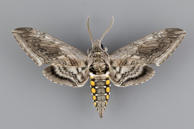 7776 Manduca quinquemaculata male