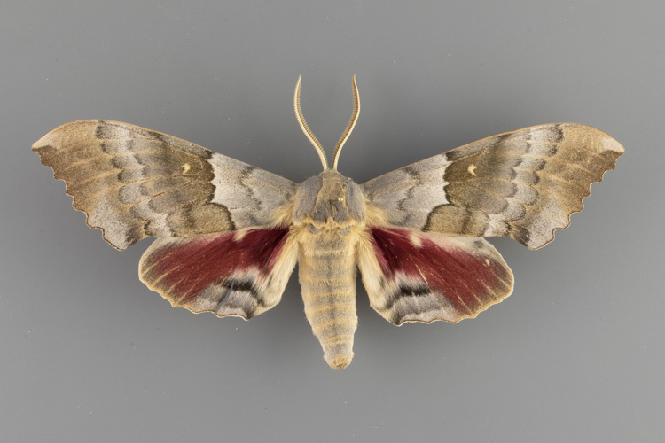7829-Pachysphinx-occidentalis-male
