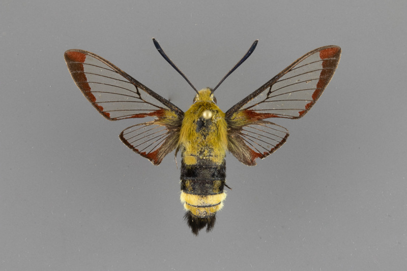 7855.1-Hemaris-thetis-male-ii-101