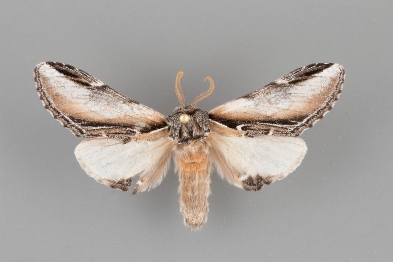 7922 Pheosia rimosa male
