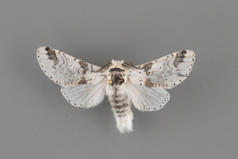 7940 Furcula scolopendrina male