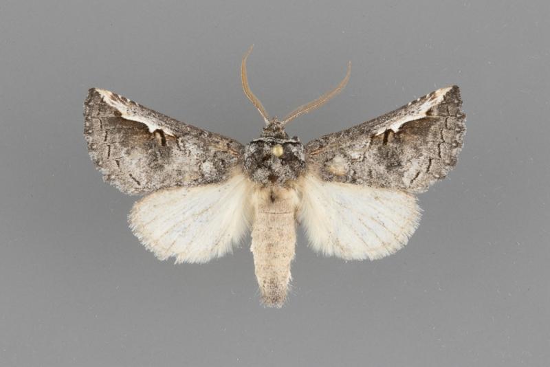 7954 Symmerista suavis male