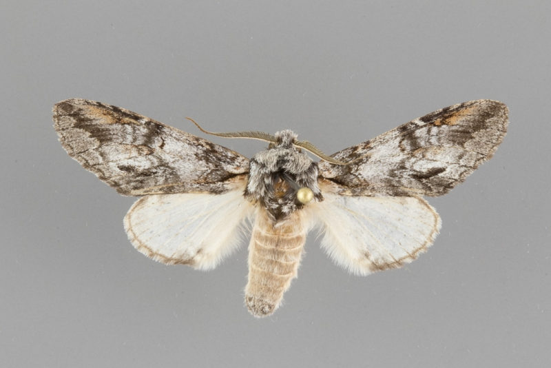 7976 Macrurocampa dorothea male