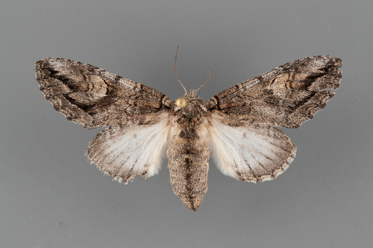 7991-Heterocampa-averna-female.jpg