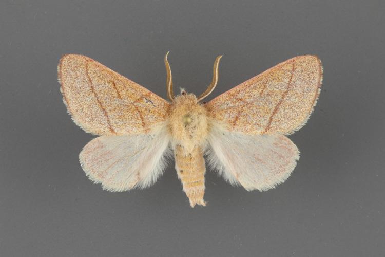 8025-Hyparpax-aurostriata-male