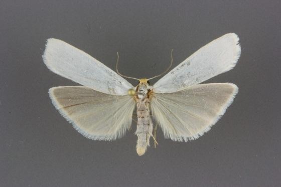 8053 Crambidia cephalica male