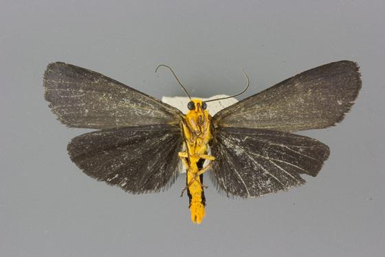 8057 Gnamptonychia ventralis male ventral view