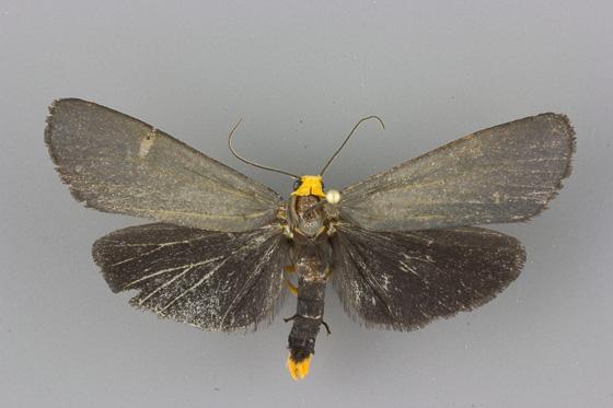 8057 Gnamptonychia ventralis male