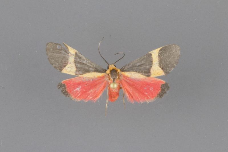 8066 Cisthene tenuifascia female