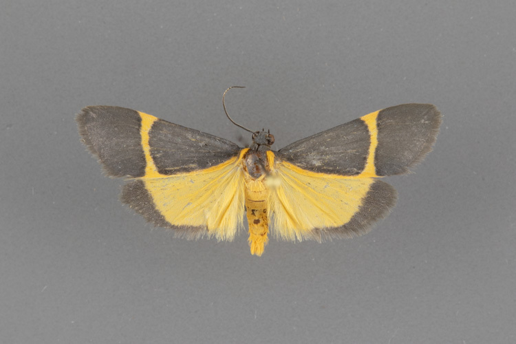 8074 Cisthene barnesii-male