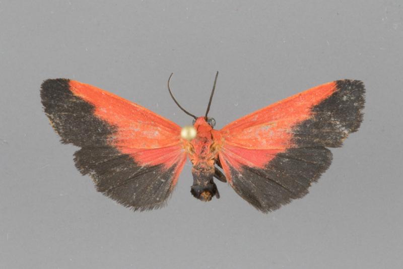 8079-Ptychoglene-coccinea-male