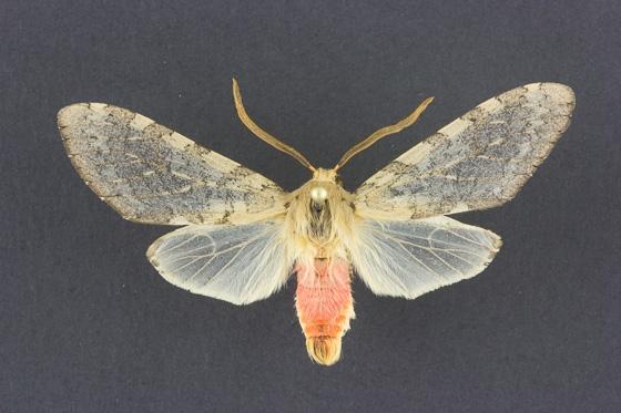 8222 Pseudohemihyalea edwardsii male