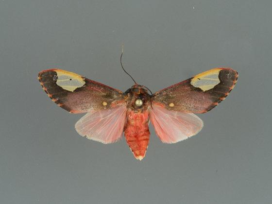 8258 Bertholdia trigona