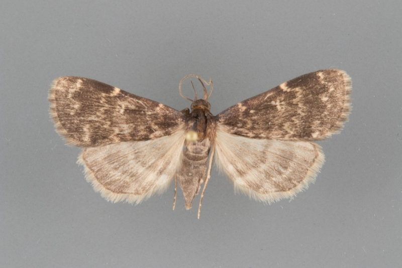 8334 Idia lubricalis female